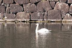 皇居のコブハクチョウ Mute Swan
