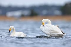 Cygnus cygnus | Whooper Swan | sångsvan