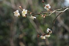 梅 Plum blossom
