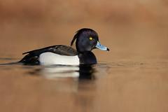 Aythya fuligula | Tufted Duck | vigg