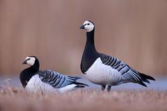 Branta leucopsis | Barnacle Goose | vitkindad gås