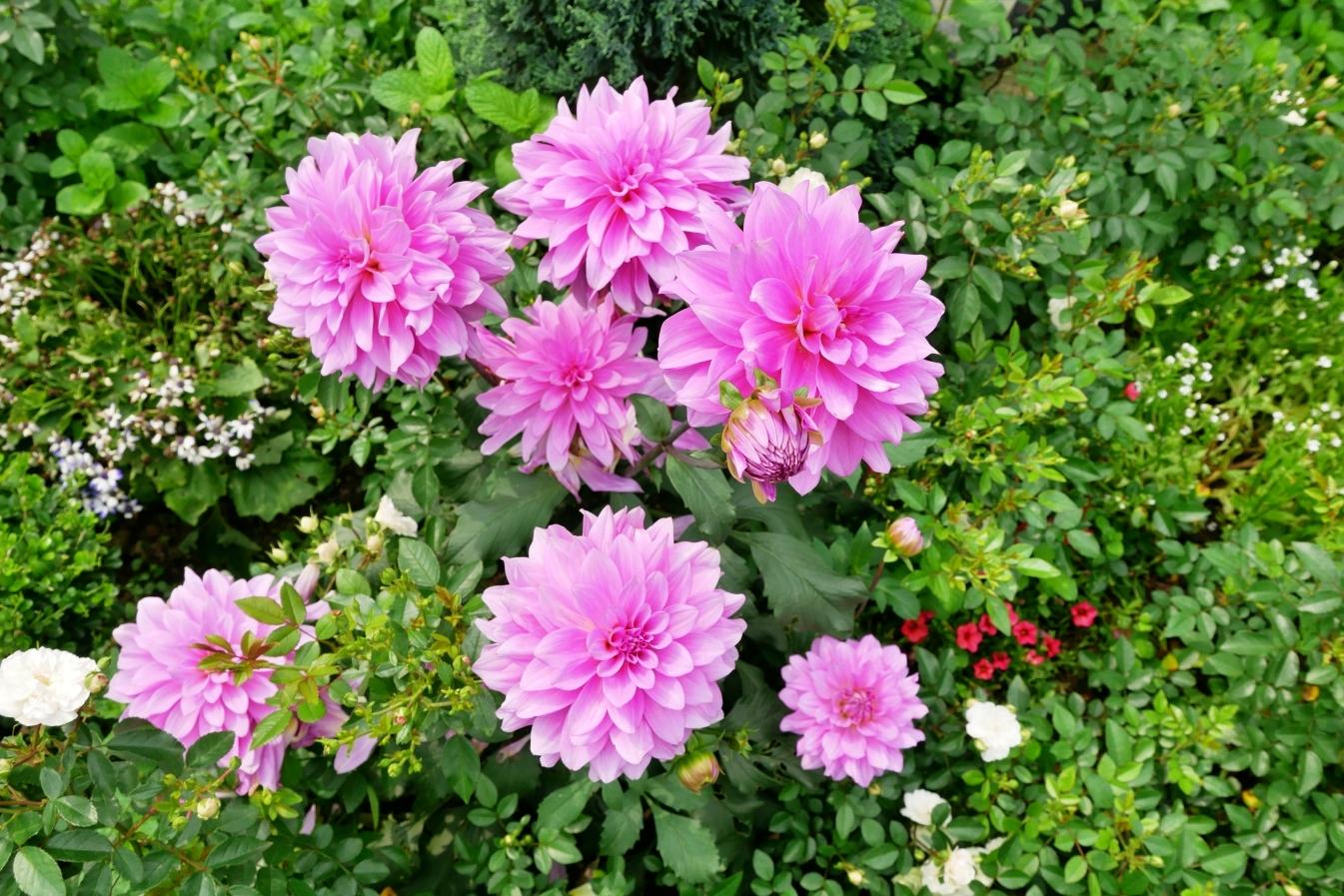 [桃園旅遊]楊梅雅聞觀光工廠|玫瑰花季正盛開~免費入園賞花去.歐風玫瑰花園偽出國風 @VIVIYU小世界