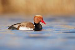 Netta rufina | Red-crested Pochard | rödhuvad dykand
