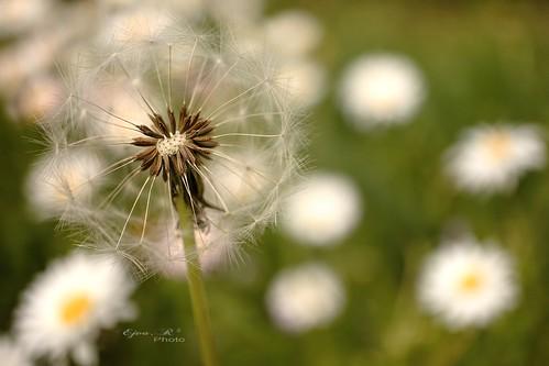 spring, dandelions tavasz, pitypang Frühling, Löwenzahn