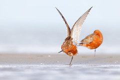 Limosa lapponica | Bar-tailed Godwit | myrspov