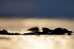 Calidris maritima | Purple Sandpiper | skärsnäppa