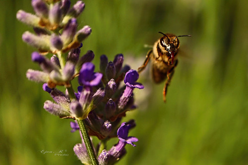 lavender bee summer insect