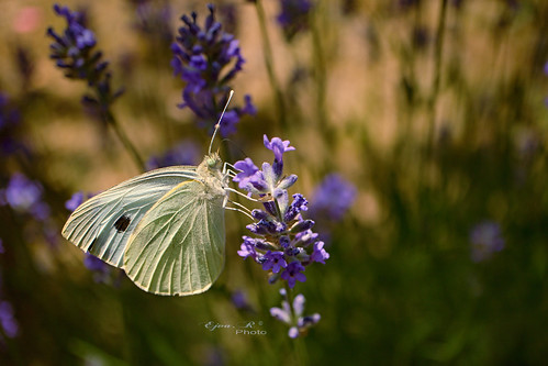 butterfly summer lavender