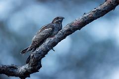 Caprimulgus europaeus | European Nightjar | nattskärra