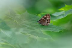 Dårgräsfjäril | Woodland Brown | Lopinga achine