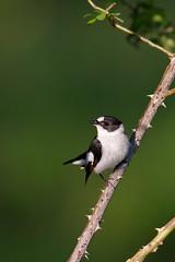 Ficedula albicollis | Collared Flycatcher | halsbandsflugsnappare
