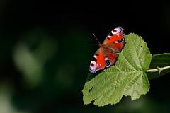 Påfågelöga | Peacock Butterfly | Inachis io