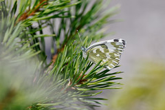 Grönfläckig vitfjäril | Bath White | Pontia edusa