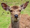 Photo:Sika Deer, Nara Park, Japan By
