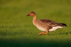 Anser serrirostris   Tundra Bean Goose   tundrasädgås