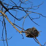 Wasp nest at Indian Ridge Marsh