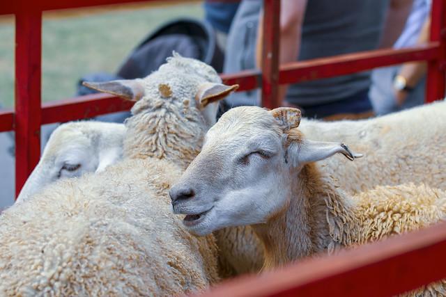 Farm Animals (1)