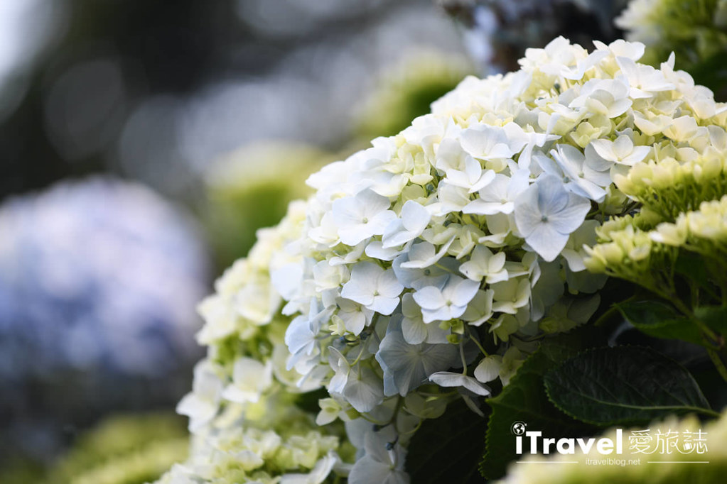 大梯田花卉生態農園 Taipei Hydrangea Terraced Fields (50)