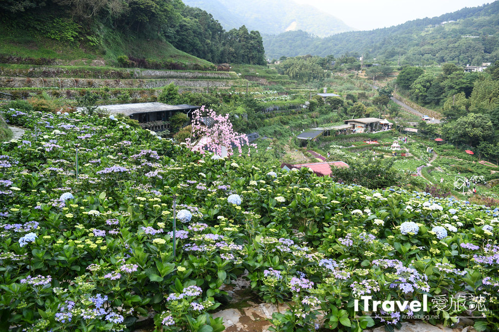 大梯田花卉生態農園 Taipei Hydrangea Terraced Fields (31)