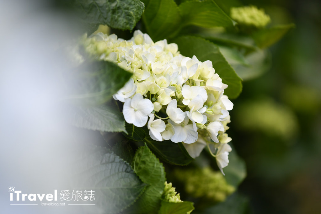 大梯田花卉生態農園 Taipei Hydrangea Terraced Fields (49)