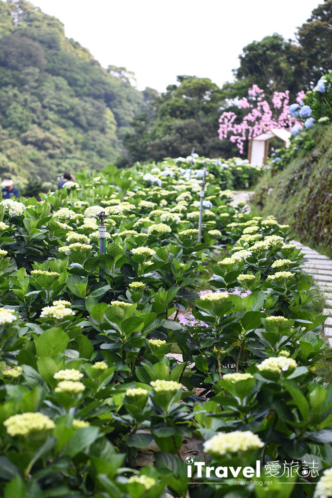 大梯田花卉生態農園 Taipei Hydrangea Terraced Fields (25)