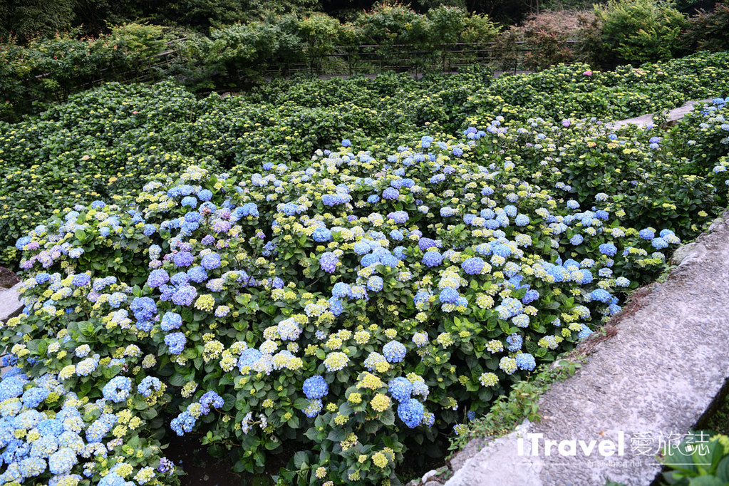 大梯田花卉生態農園 Taipei Hydrangea Terraced Fields (71)