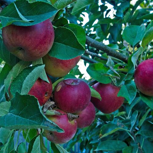 Day 271 :: 365 ...::... Apple Pie Ready by Echo9er