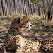Cheetah (1)