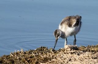 2011_07_20 LN - Pied Avocet - juvenile (Recurvirostra avosetta) 02 by Mike at Sea