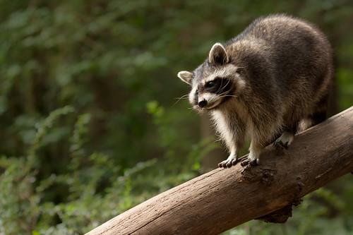 Racoon climbing