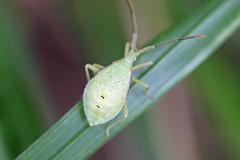 瀬上市民の森のオオクモヘリカメムシ(幼虫)(Stinkbug, Segami Community Woods)
