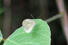 新治市民の森のスジグロシロチョウ(Butterfly, Niiharu Community Woods, Yokohama, Japan)