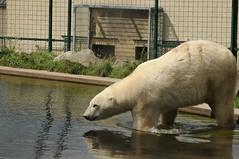 Eisbär Henk im Dierenrijk in Mierlo bei Eindhoven