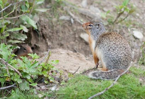 BanffSquirrels-1