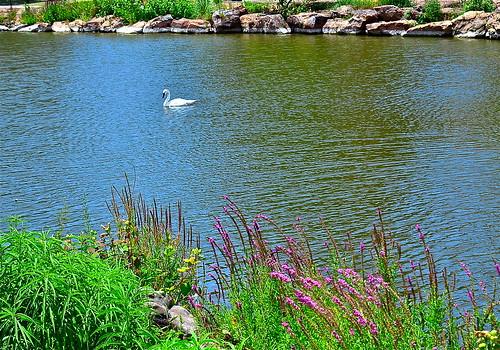 Swan Lake by Shirley Buxton