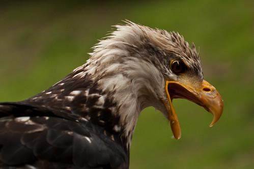 Bald Eagle wanting food