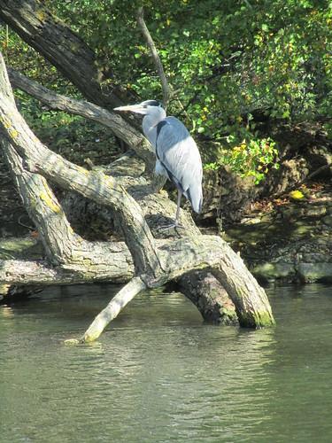 Heron in Regent's Park