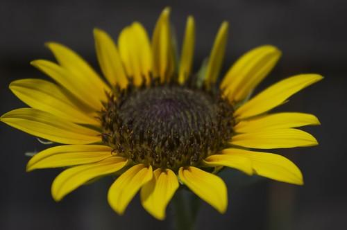 07.17.2011 Sunflower