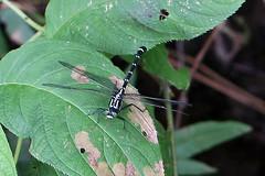 瀬上市民の森のコオニヤンマ(Dragonfly, Segami Community Woods)