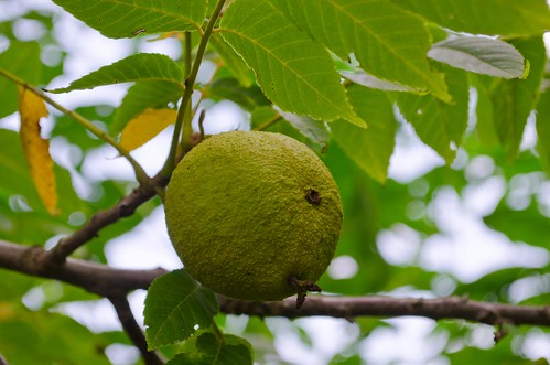 Black Walnut Fruits – Whatever