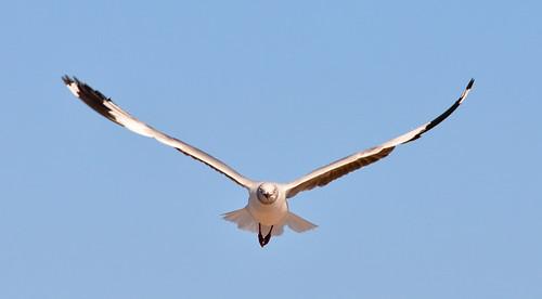 Coney Island: Gray-hooded Gull Aloft
