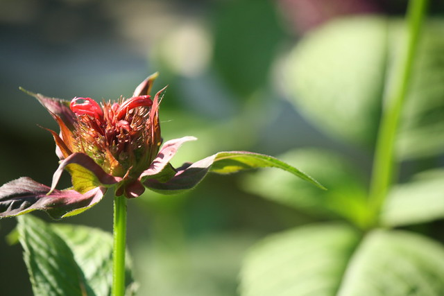 bee balm beginning to bloom