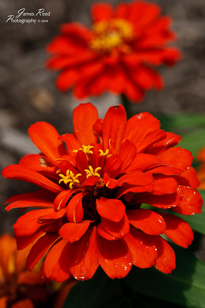 A pair of orange zinnia blooms.