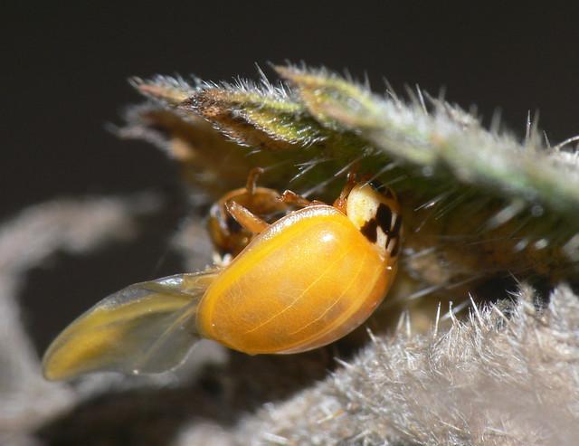 Newly-emerged ladybird