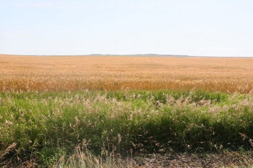 A picture of spring wheat by my farm in Bowdle.