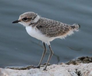 2011_07_19 LN - Kentish Plover - juvenile (Charadrius alexandrinus) 03 by Mike at Sea