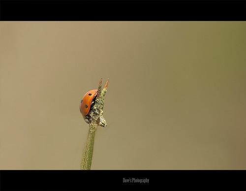 ladybug/Lievenheersbeestje/coccinelle