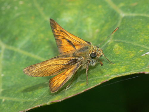 Large Skipper (Ochlodes faunus), m.