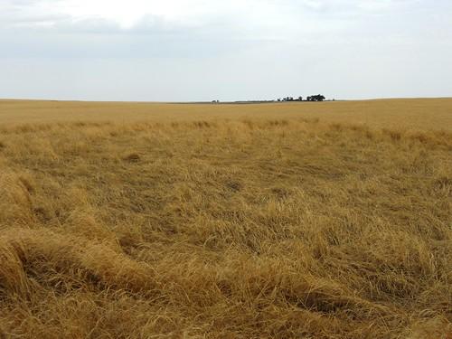 Down wheat
