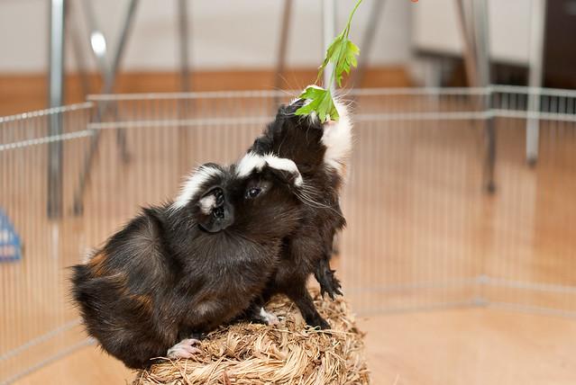 Dos cobayitas comiendo cilantro